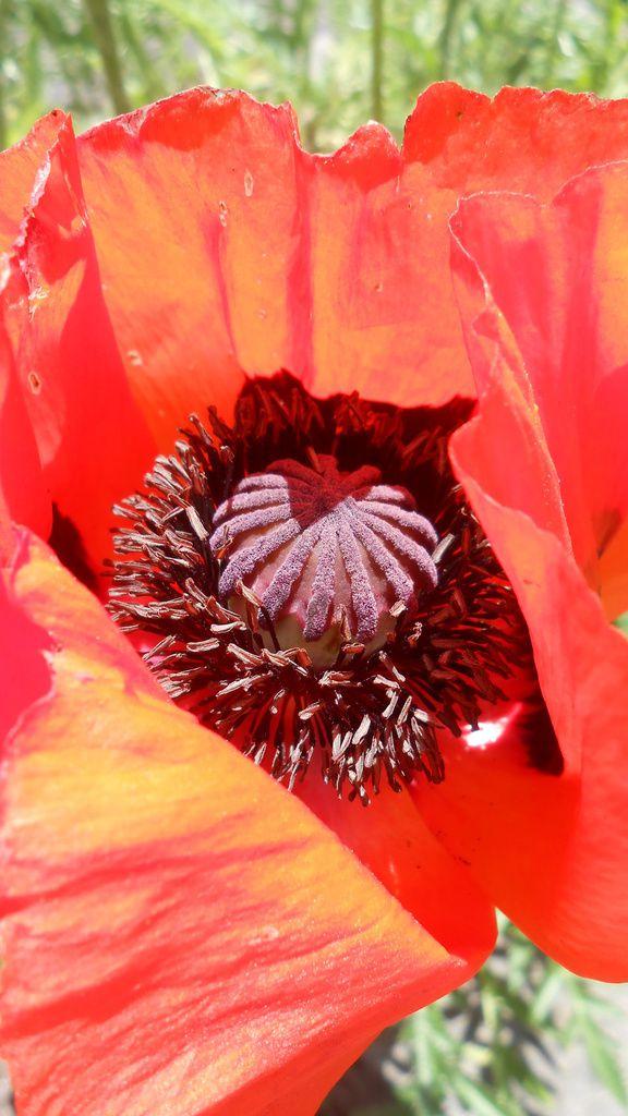 coquelicots et iris au jardin botanique hier,