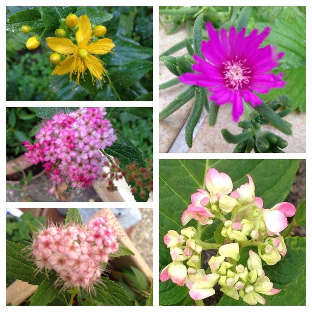 Explosion de fleurs, de couleurs, et de fruits en juin... le soleil fait du bien au jardin... et aux humains... c'est certain !