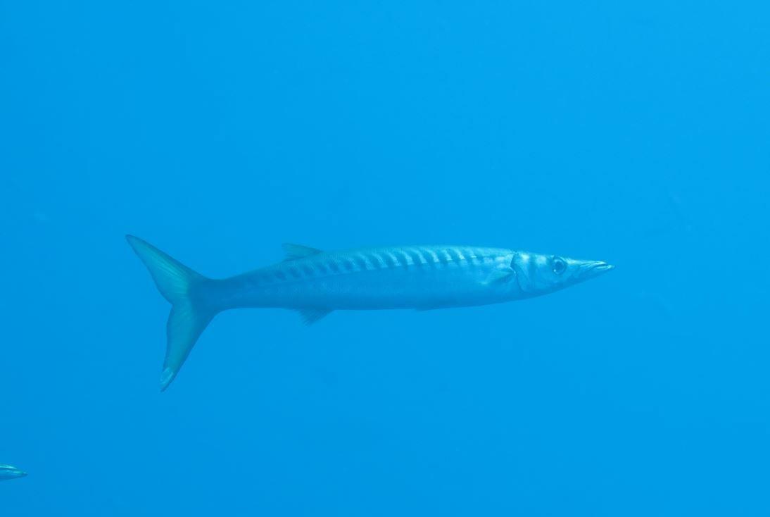 Silencieux et furtif, un barracuda passe devant l'objectif du photographe.