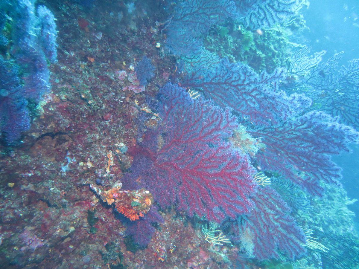 les gorgones mauves, typiques de Méditerranée, colonisent les tombants.   photo Hervé Lichtfouse