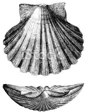 La coquille de Saint Jacques ressemble à la forme que pourrait avoir la Terre plate, vue de profil. Est ce pour cela qu'on la retrouve sur de nombreux blasons ? ( Ici celui du prince William de Cambridge.)