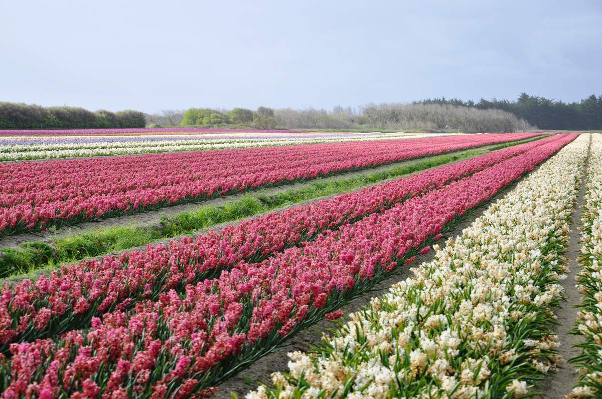 Le climat et les sols sablonneux situés derrière les dunes de la baie d'Audierne, conviennent parfaitement à la culture de fleurs ( tulipes et jacinthes ) en plein champs, plusieurs familles hollandaises s'y sont installées.Chaque printemps est l'occasion d'organiser une fête des fleurs, avec la réalisation de très beaux décors floraux.