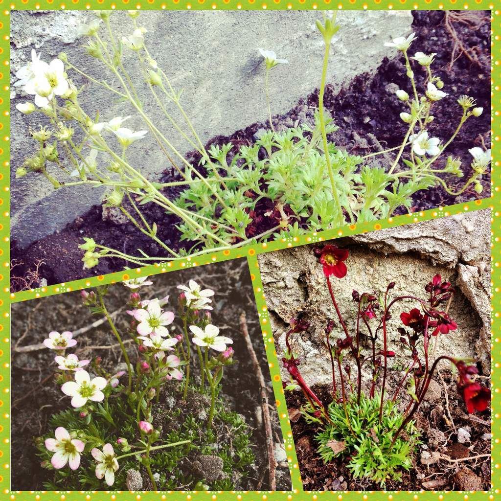Saxifraga Arendsii Group : Saxifrage-mousse blanc et sax.-mousse Stansfieldii / Saxifraga : sax. Black Beauty