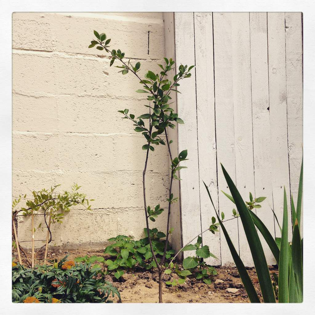 Le prunier qui grandit à son rythme