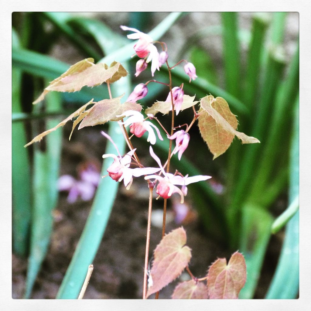 Fleur des Elfes, Epimedium Madame Butterfly
