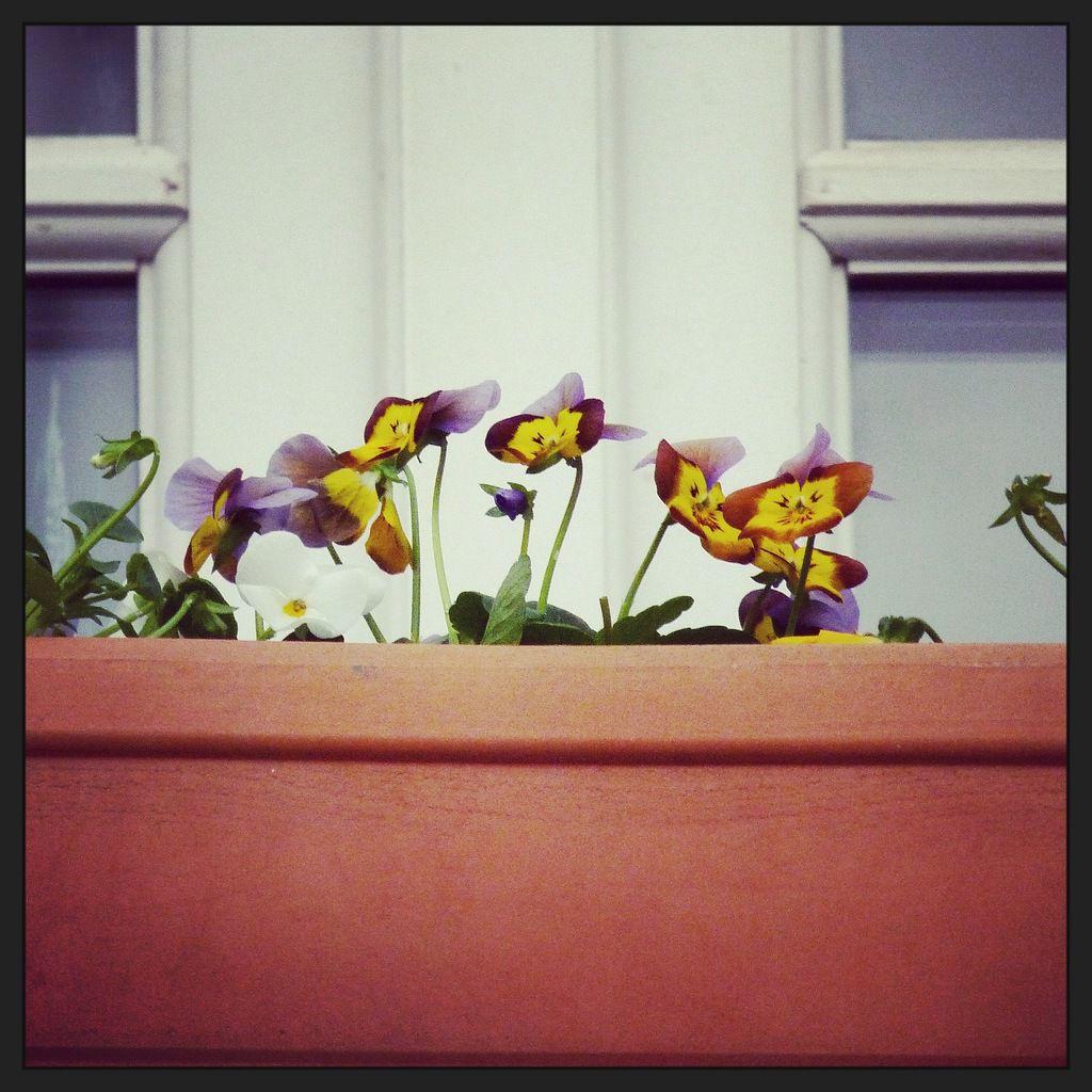 Viola Cornuta, les lutins au balcon