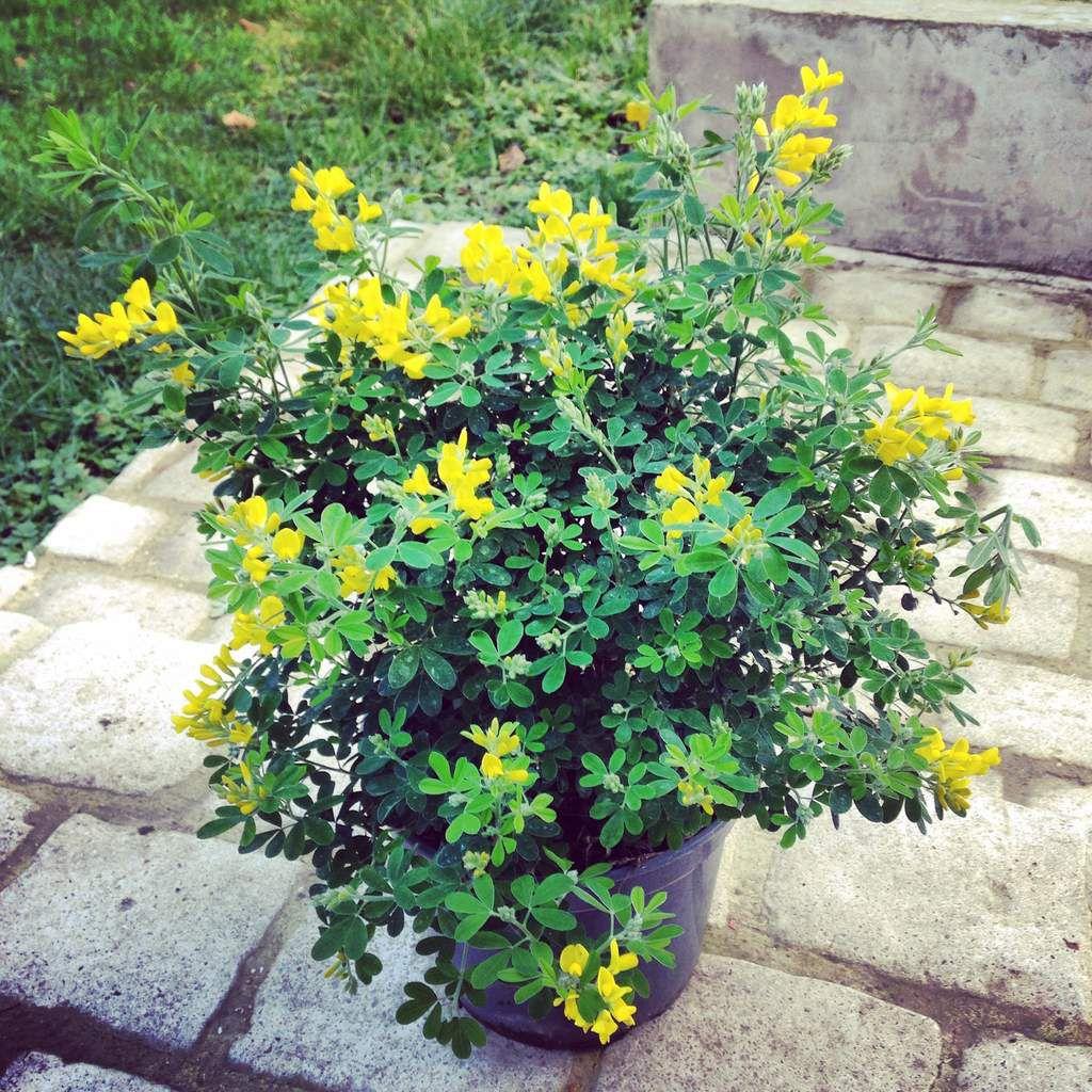 Arbustes (Dans l'ordre Oranger du Mexique, Lilas, Sauge, Lavande, Genêt des Teinturiers)