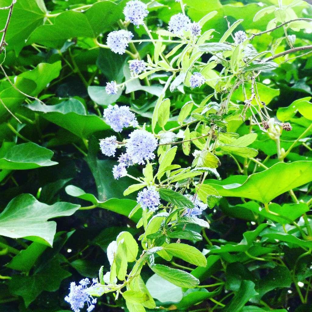 Grimpantes, arbres et arbustes en fleurs et fruits, ou presque