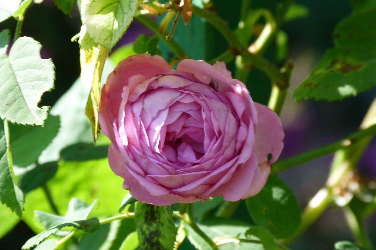 Roses, de toutes les couleurs!