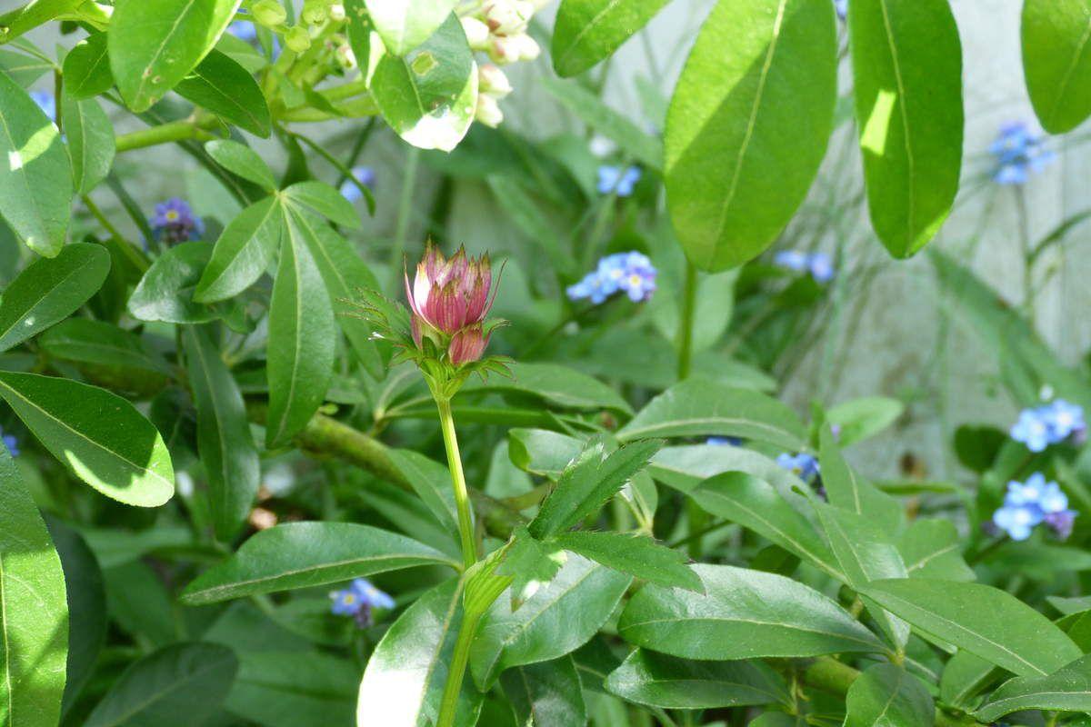 """Le myosotis, dont la signification dans le langage des fleurs est """"Ne m'oubliez pas"""", se place lui aussi en bonne position pour ce thème. Il forme un bel écrin et un beau mariage avec les délicates astrances."""