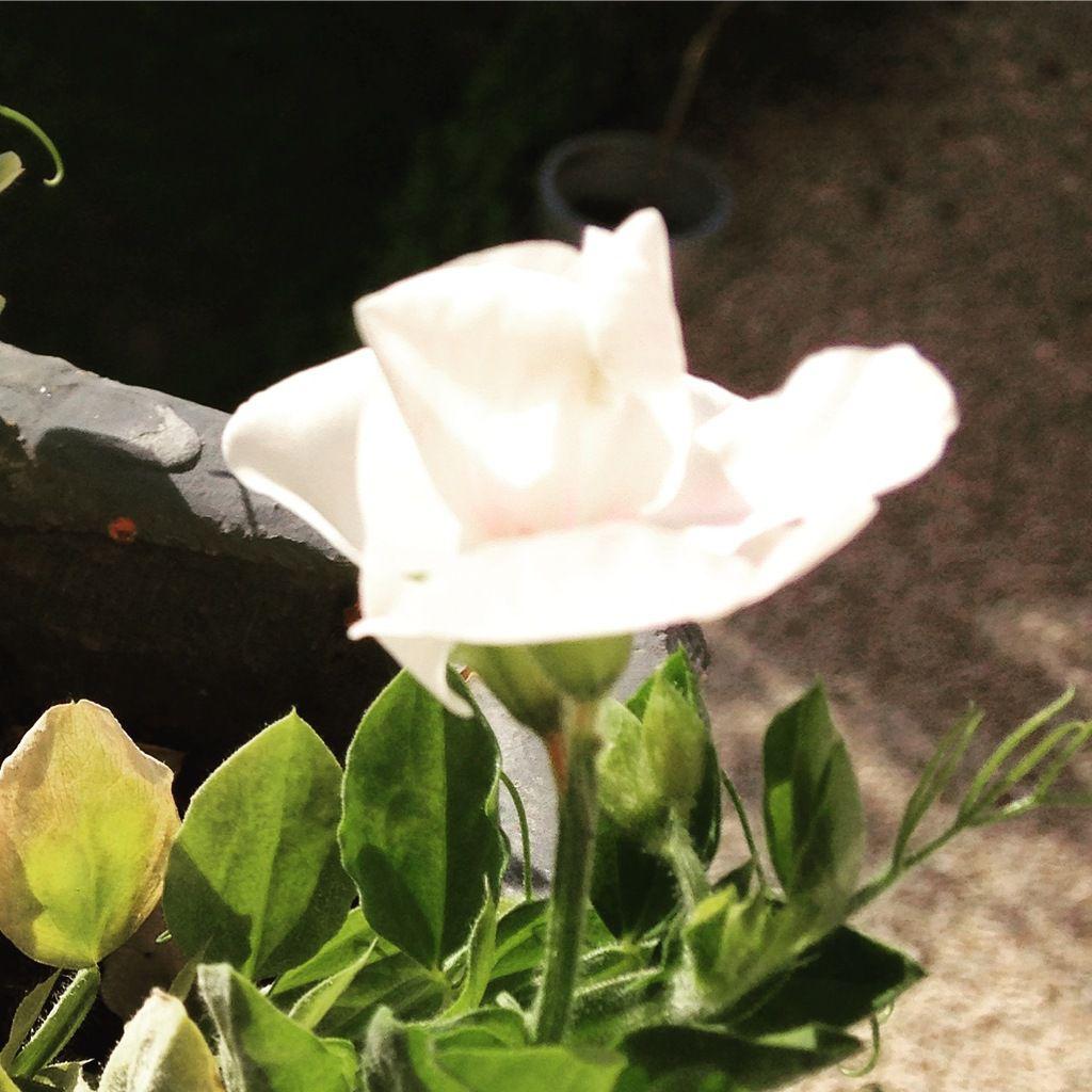 Les pois de senteur qui, en plus d'être charmants, embaument délicatement le rebord de la fenêtre. Deux atouts majeurs!