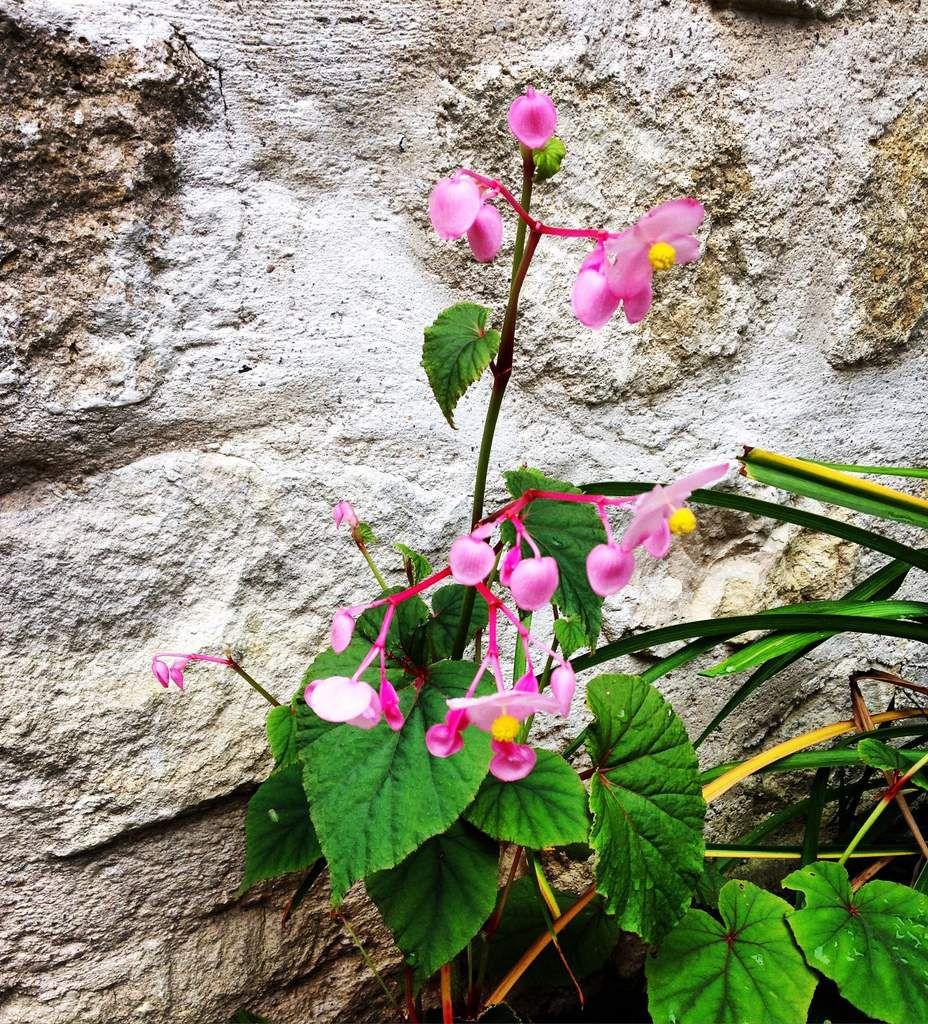 Le bégonia Evansiana Grandis avec ses fleurs si simples mais si délicates