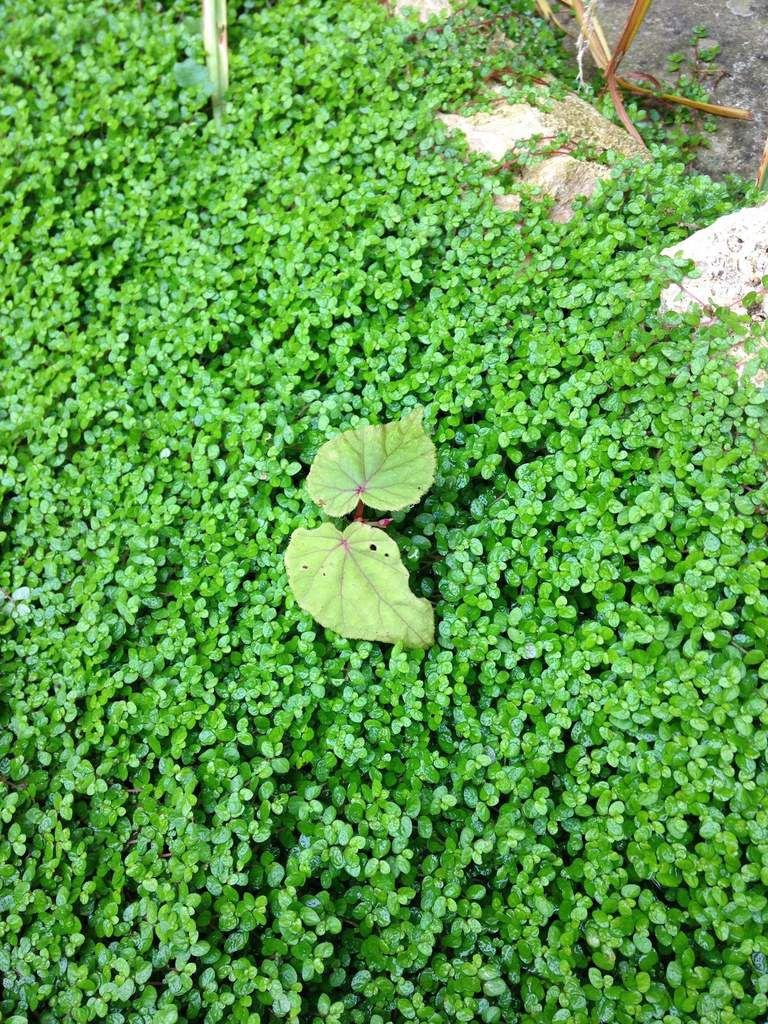 Semis spontané de bégonia Evansiana Grandis, au beau milieu de l'helxine