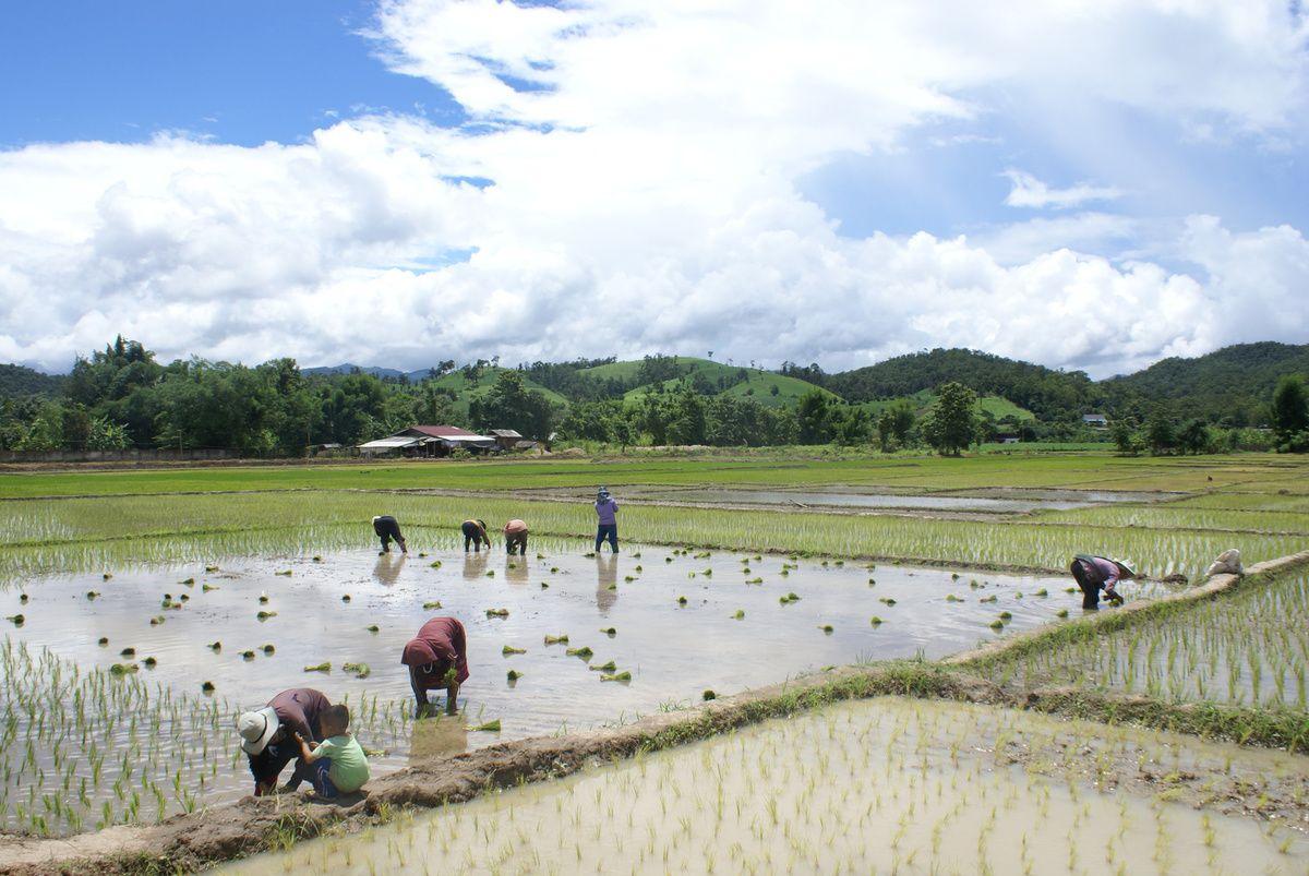 Périodes des semences de riz près de Mae Sarieng