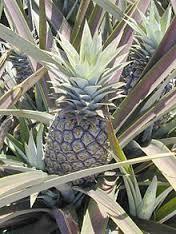 Ananas cocomus, Ce fruit de forme ovoïde, recouvert d'écailles, est surmonté par une sorte de couronne de feuilles vert amande, courtes et dures. Il existe plusieurs variétés d'ananas. En Thaïlande, on en trouve de toutes les tailles jusqu'au petit ananas de Phuket, jaune et très sucré. L'ananas fait fréquemment partie de plats aigres-doux, et se marie bien avec les salades de poulet ou de crevettes.
