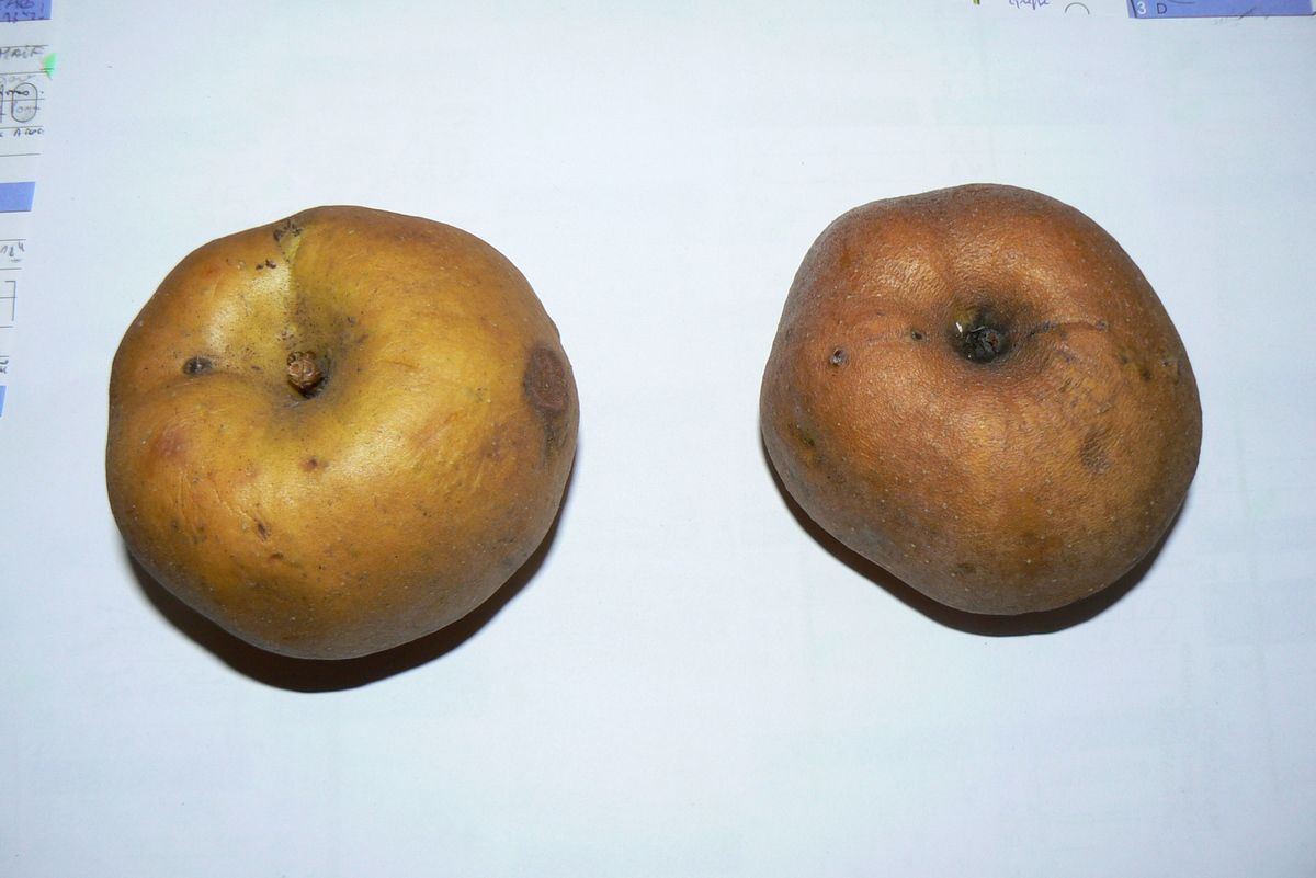Pomme reinette grise du Canada
