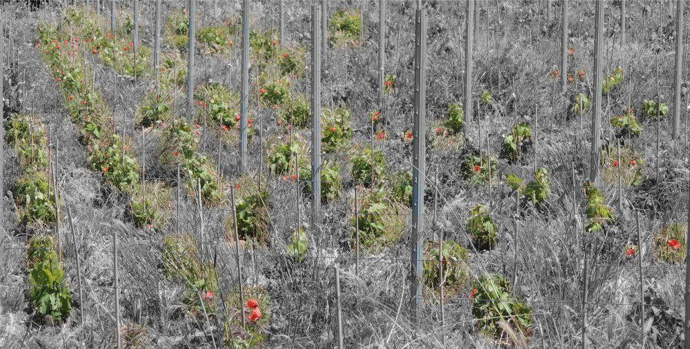 jeunes vignes (photo ppouchin)