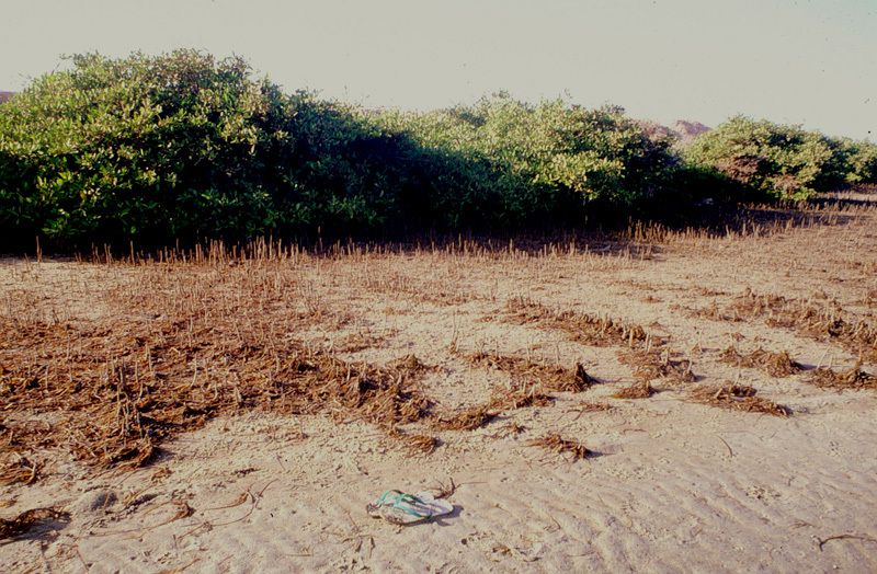 Mangroves à Avicennia et amas coquillers anciens au cap Timiris (photos JML 1990)