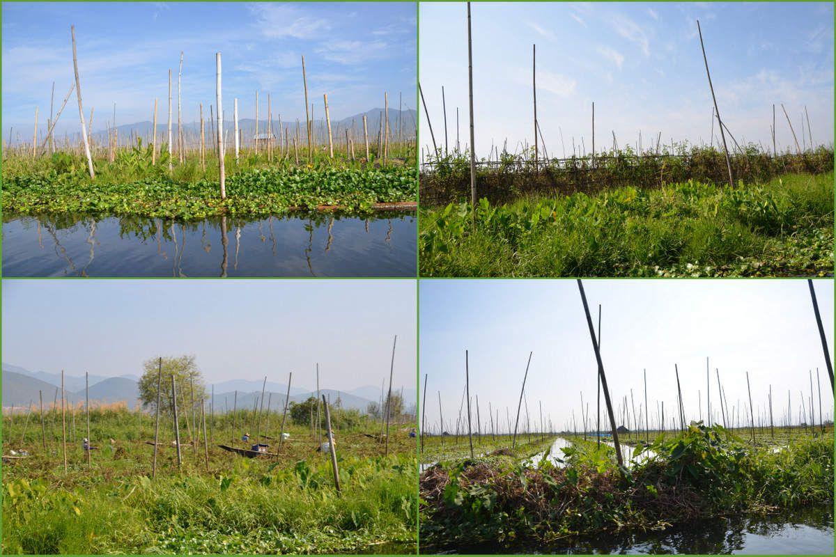 Ils cultivent leurs légumes sur ces jardins flottants, sortes de radeaux de végétations.