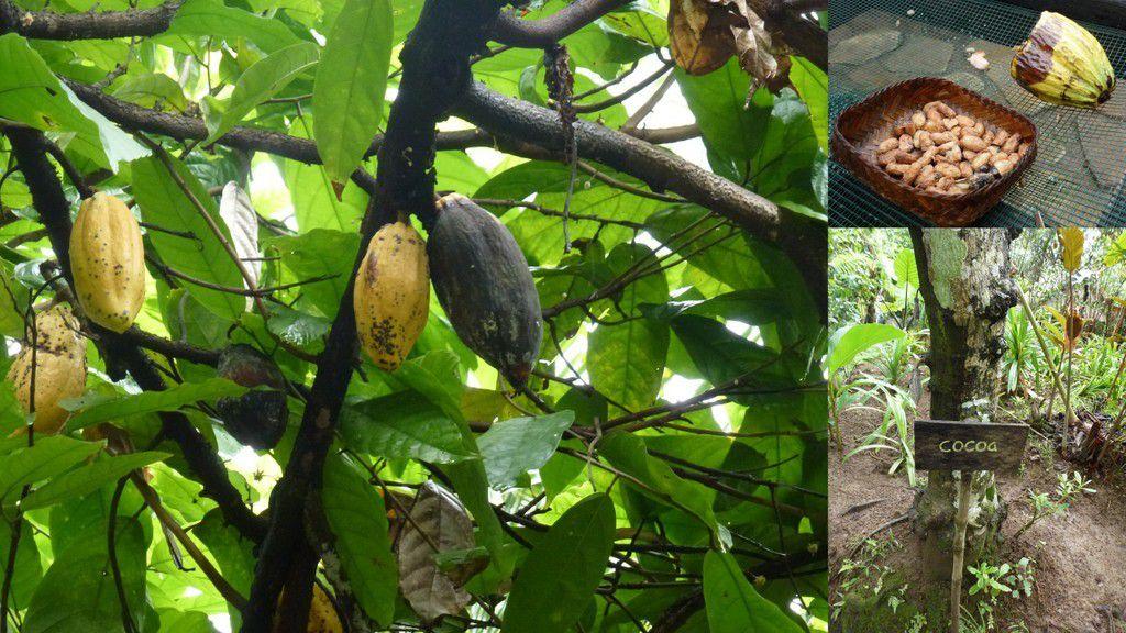 Les civettes n'ingèrent pas les fèves de cacao !
