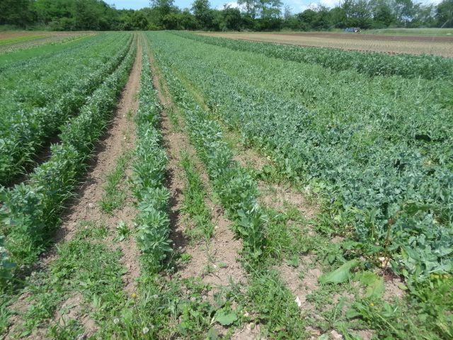 salades en plein champ, fenouil, pois fèves, céleris, choux, pommes de terre, tomates, aubergines, courgettes, concombres...
