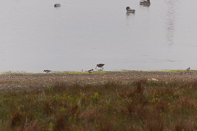 Sur cette photo, un bécassine des marais (au centre, le plus grand oiseau avec le long bec) côtoie un grand gravelot (juste devant la bécassine) et un bécasseau variable (à gauche)