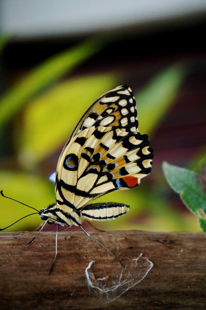 Jolis papillons ...
