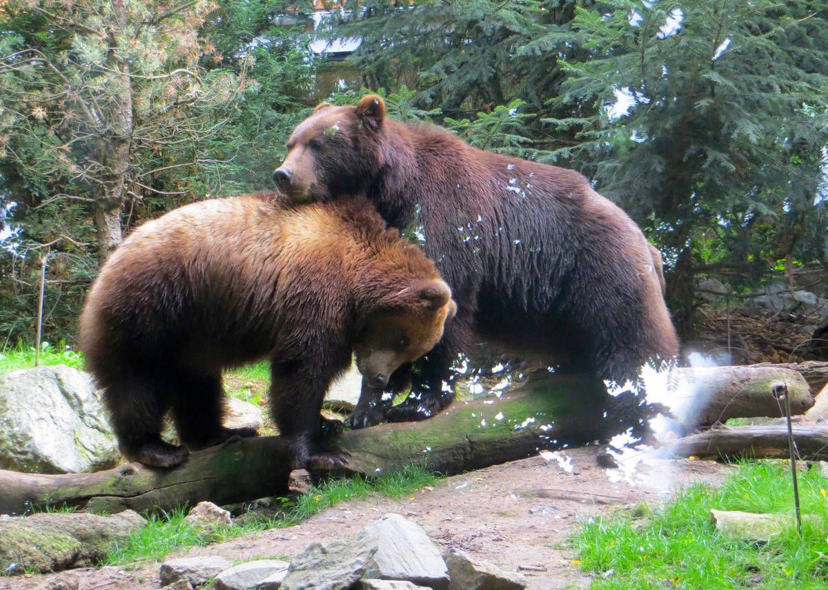 les ours grizzly