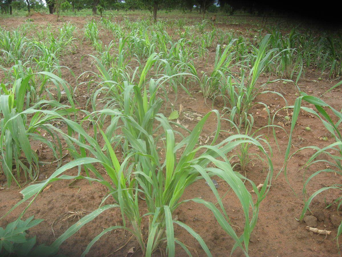 Production de petit mil dans le champ pédagogique du projet Wurodinisso