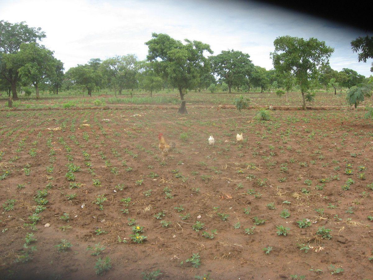 Production d'arrachide dans le champ pédagogique du projet Wurodinisso