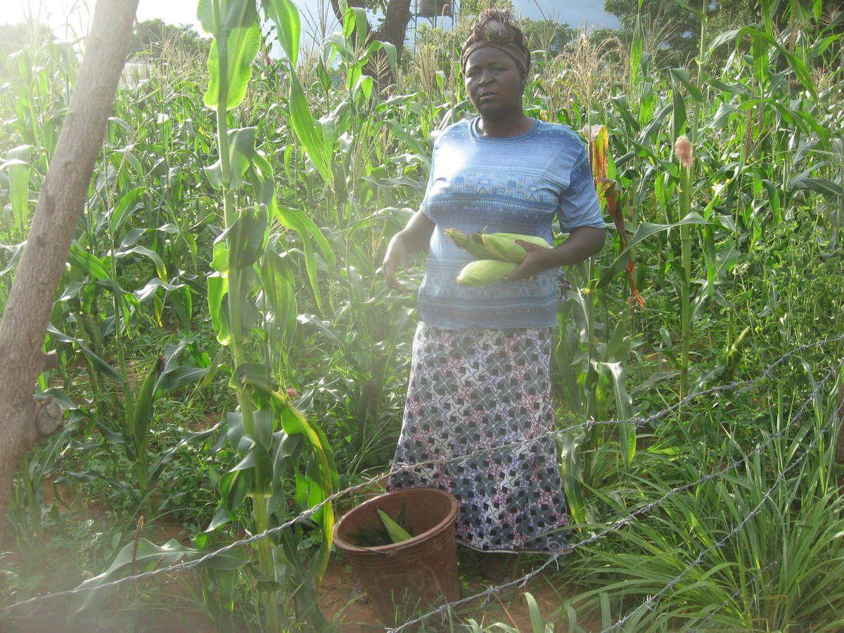 Maman Louise SANOU enlève du maïs déjà mur dans le jardin goutte à goutte