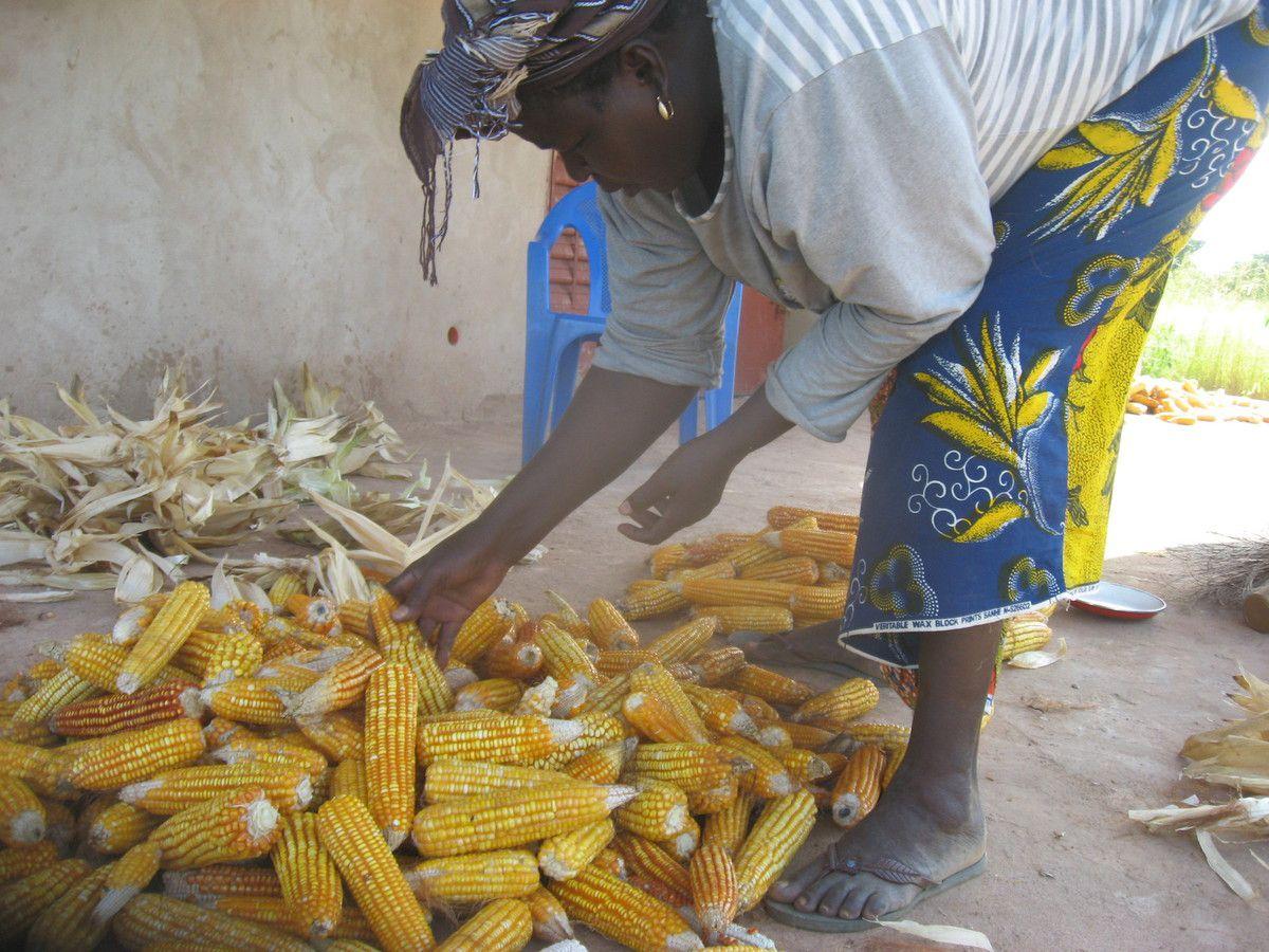 Travaux de récolte de la production de maïs du 1/4 du jardin goutte à goutte du projet Wurodinisso près du village de Doufiguisso
