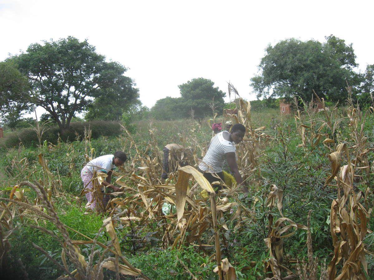 Récolte de la production de maïs blanc du champ pédagogique projet Wurodinisso