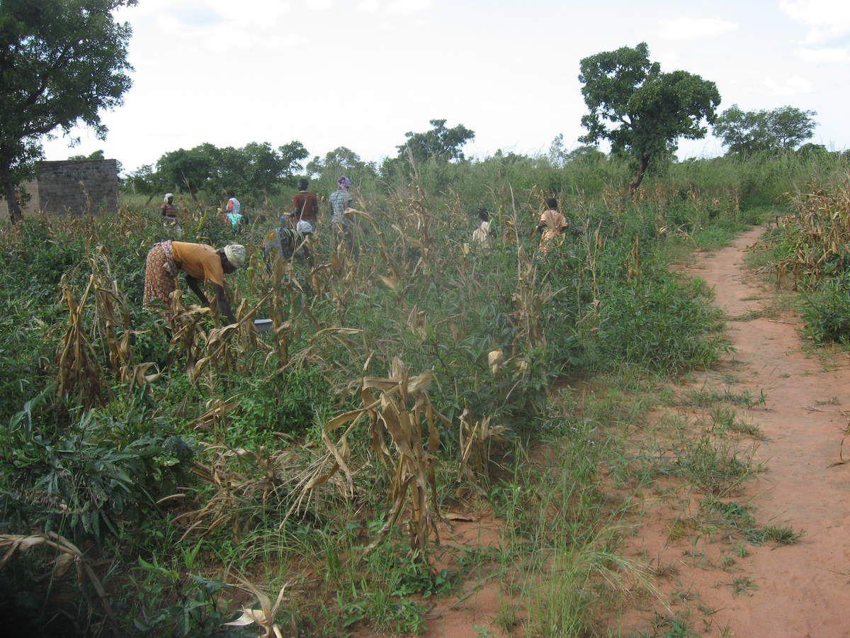 Suite de la récolte du maïs blanc dans le champ pédagogique du projet Wurodinisso
