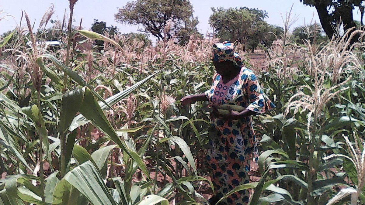 Du maïs arrivé à maturité dans le jardin irrigué avec le système de goutte à goutte, Maman Louise en récolte.