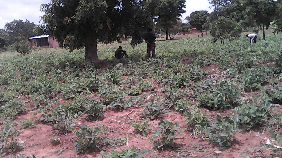 Progrès rassurant de la saison agricole 2016 à la ferme pédagogique de développement agropastoral Wurodinisso