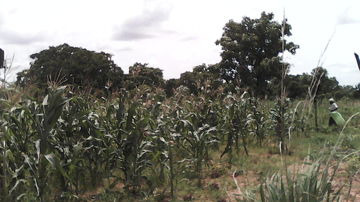 Des jeunes venus du village de Sala apportent leur appui pour le désherbage dans le champ de la ferme pédagogique Wurodinisso