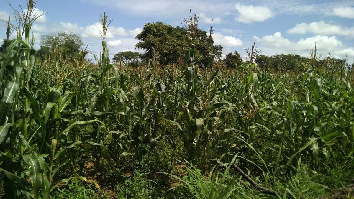La saison agricole avance et à la ferme pédagogique Wurodinisso les productions agricoles se présentent aussi assez bien