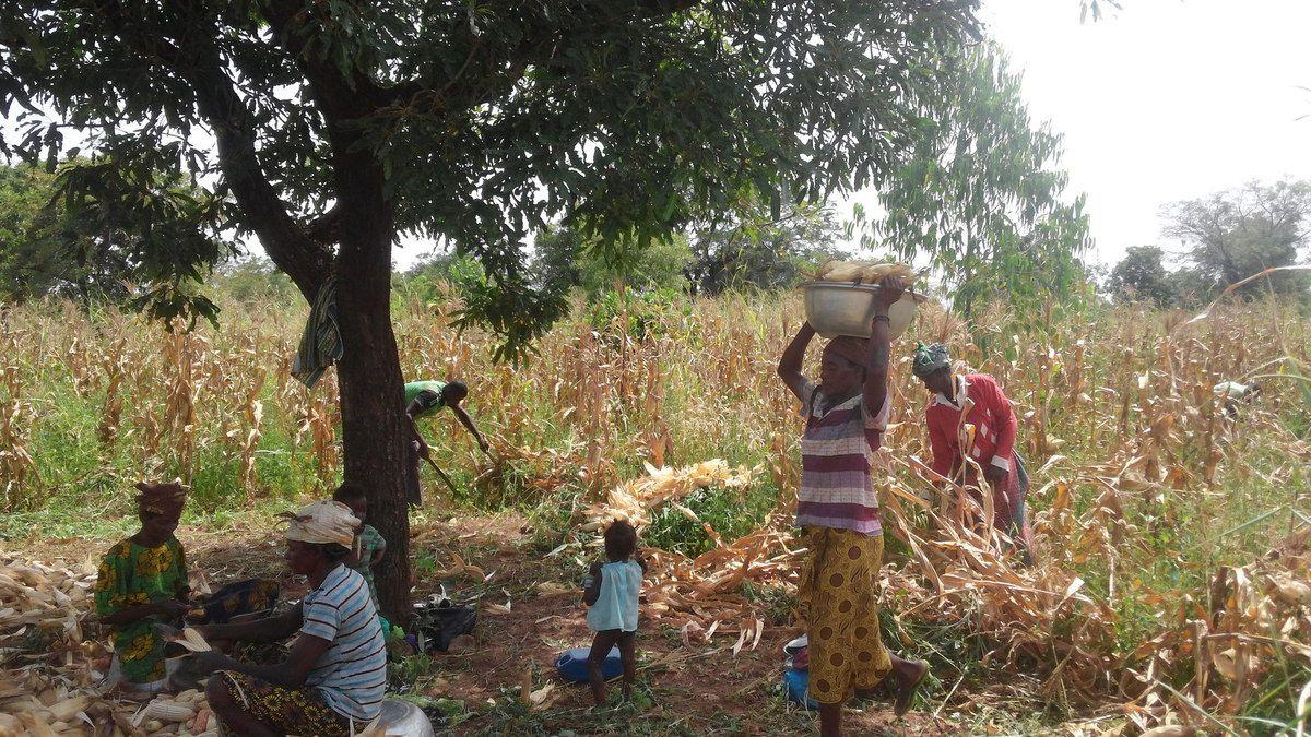 Début de la récolte de la production 2016 de maïs blanc à la ferme Wurodinisso