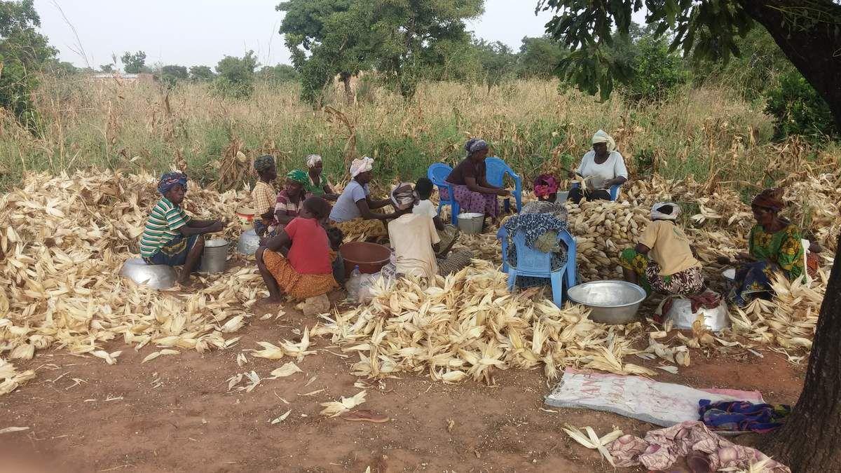 Suite de la récolte de la production 2016 de maïs blanc à la ferme Wurodinisso