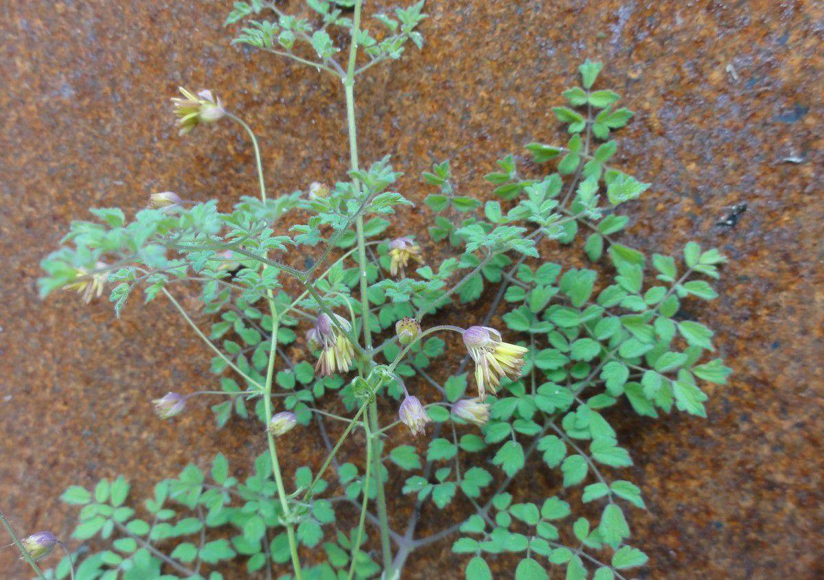 Haut.20-70 cm. plante généralement glanduleuse, de la Famille des Renonculacées