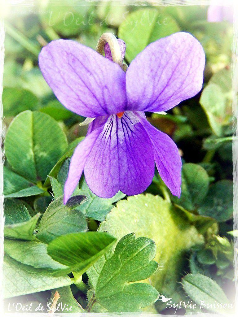 Les premières fleurs qui agrémentent mon jardin....