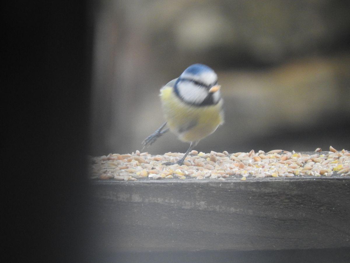 comme ils sont courageux les petits oiseaux de nos jardins.