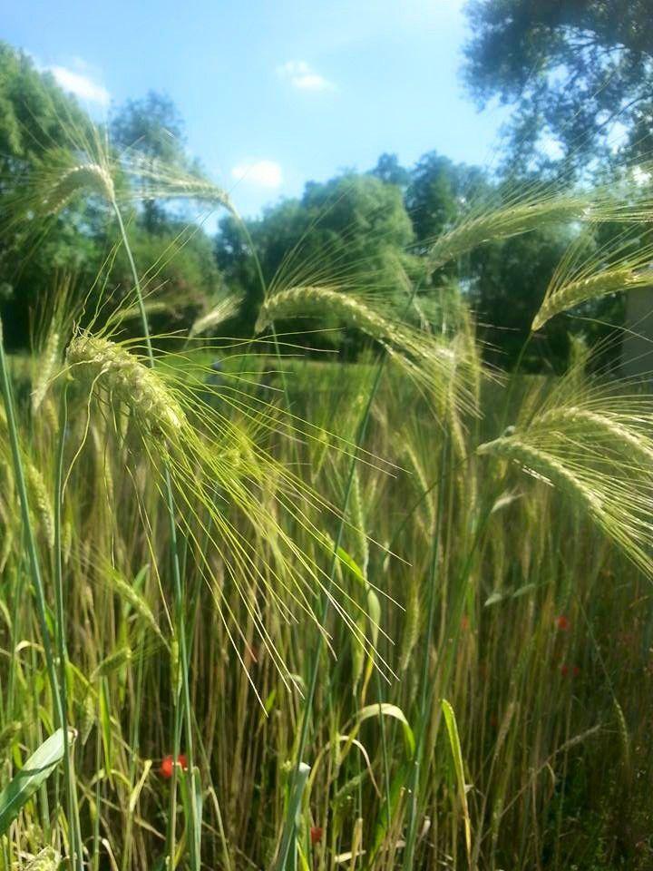 Jardin de céréales 2015