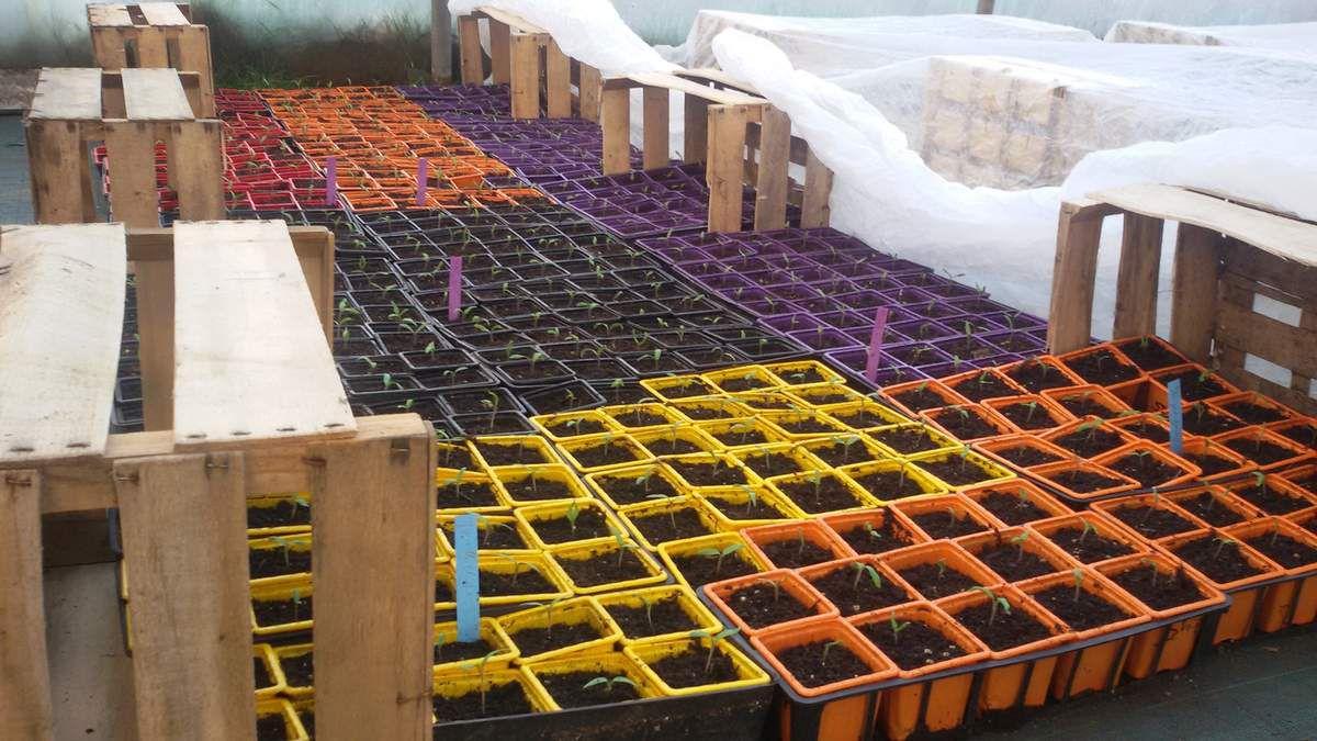 Protection des semis de tomate