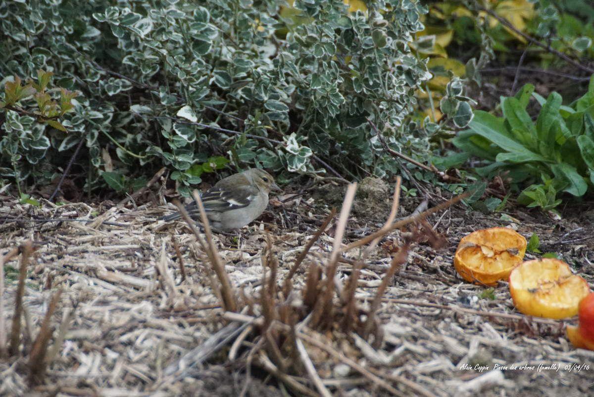 Un panel d'oiseaux de mon jardin ces derniers jours.
