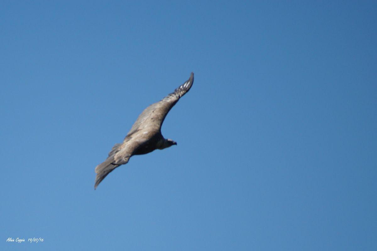 Les vautours de l'Ardèche et plus, vallée de l'Ibie....