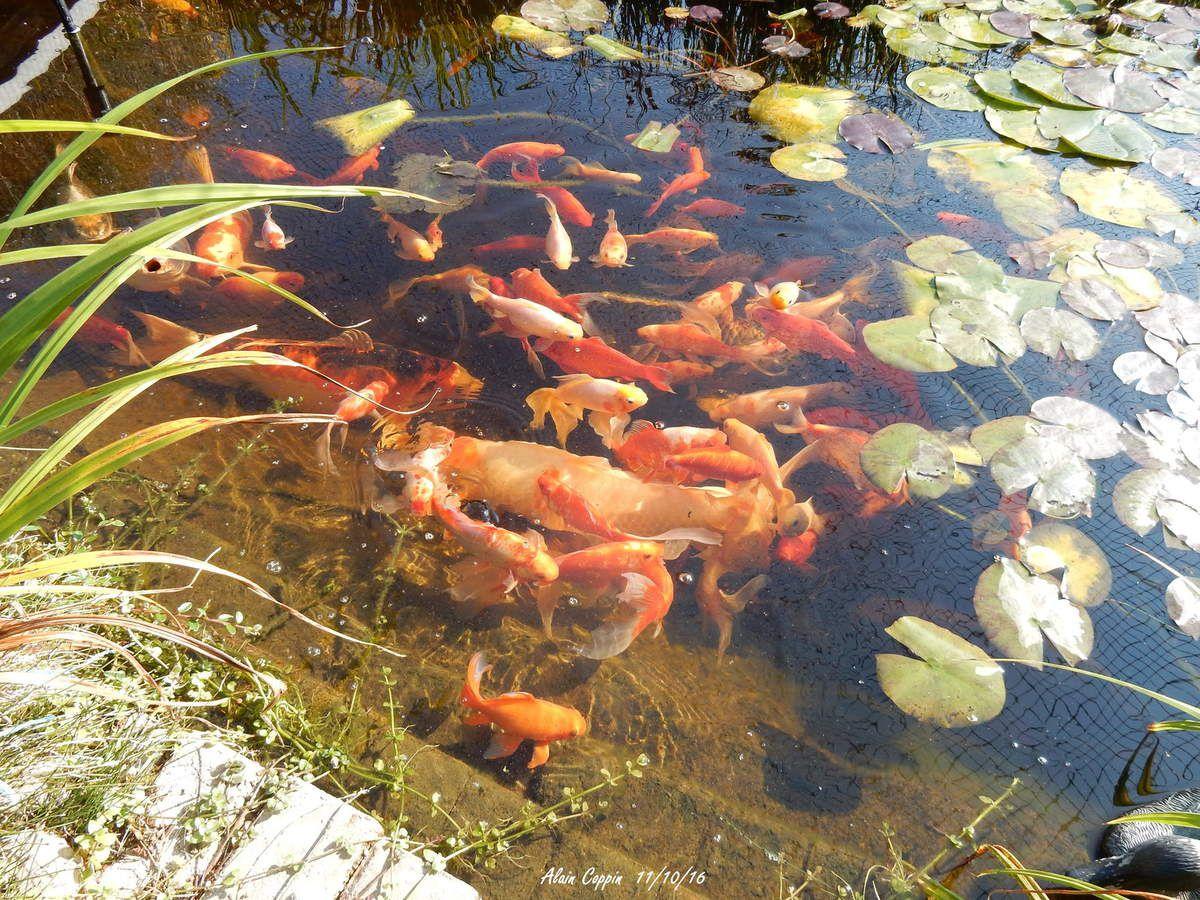 Les poissons, le régal des hérons