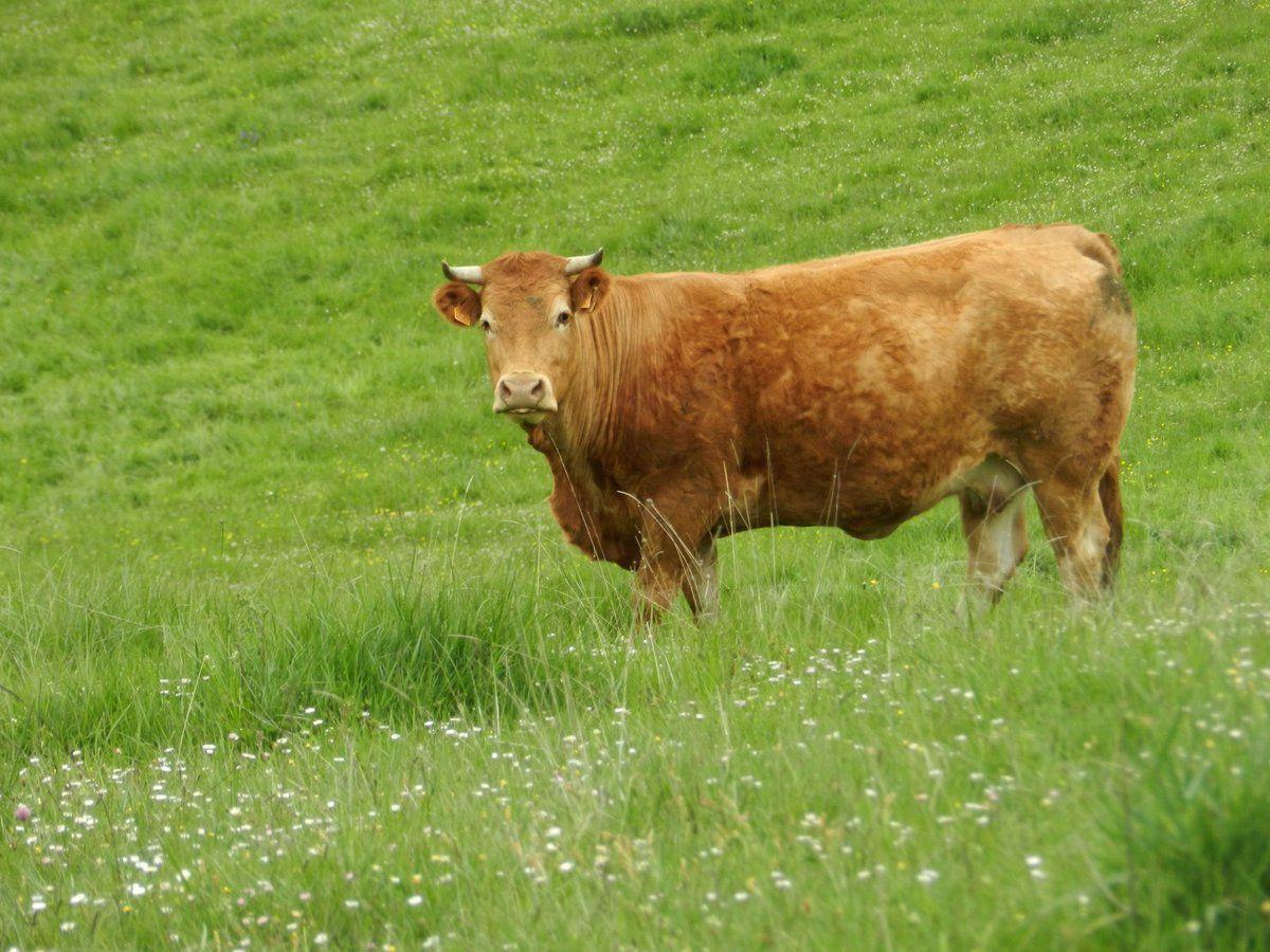 Les vaches du col du Bac
