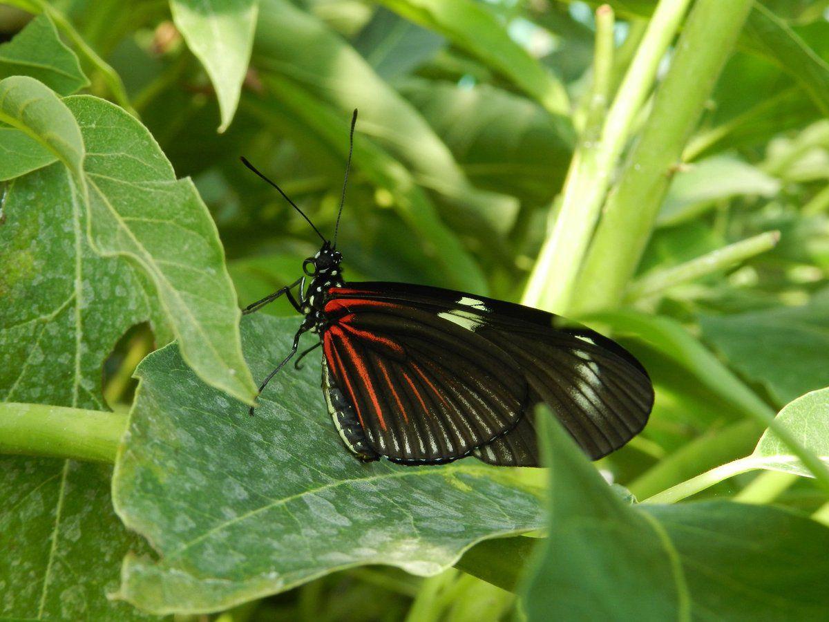 Les papillons d'Amarante
